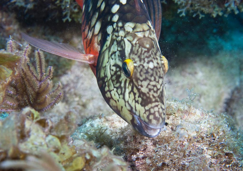 Stoplight Parrotfish (initial phase)