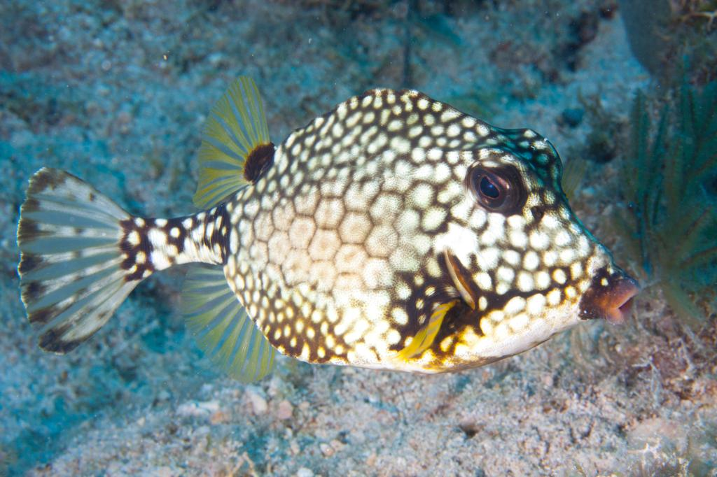 Smooth Trunkfish-1